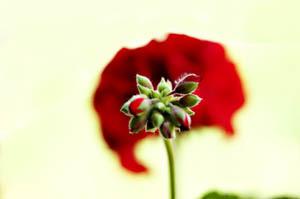 lone_geranium