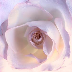 rose4136